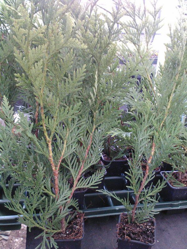 Thuja Green Giant Arborvitae 3 inch pot