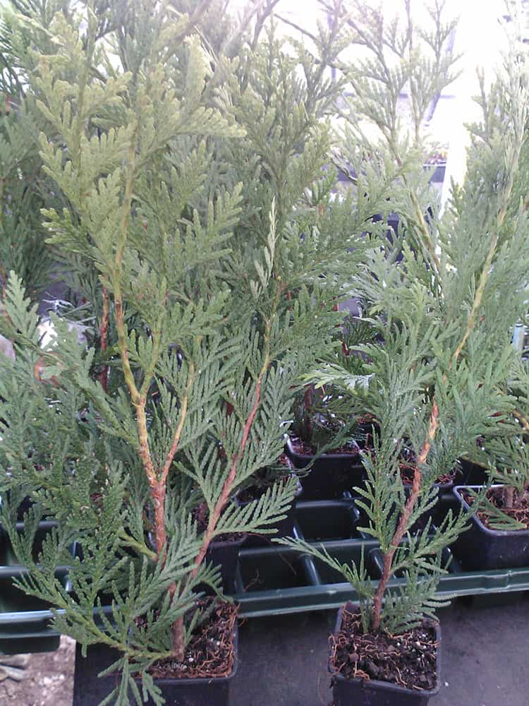 Thuja Green Giant Arborvitae ~Lot of 15~ 3 inch pot- 12-16 inches tall