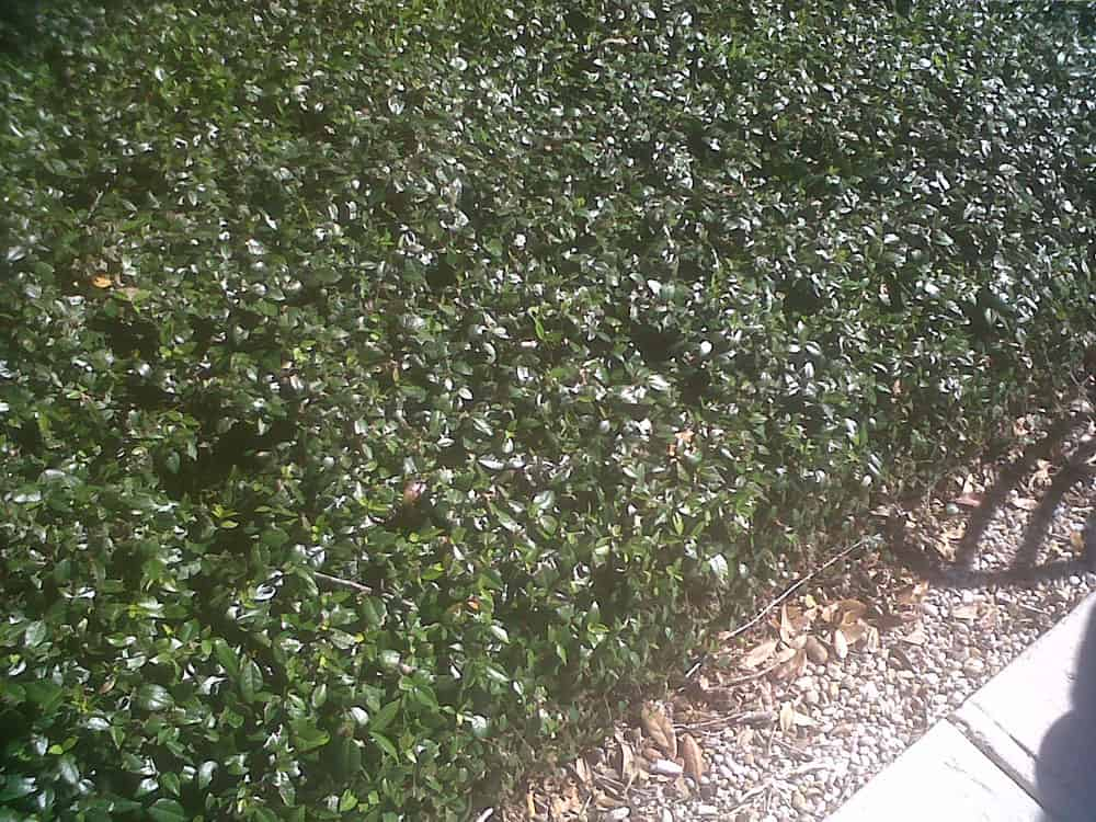 Jasmine Minima Asiatic Landscape Coverage Tray 60 Starter Plants