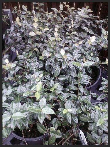 Jasmine Minima Asiatic Landscape Coverage ~Lot of 6~ Gallon pots