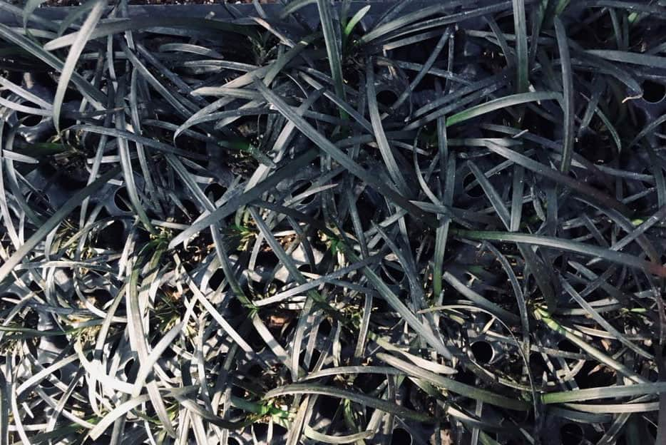 Ophiopogon p. Black Mondo Grass nigrescens ~Lot of 72~ Starter Plants