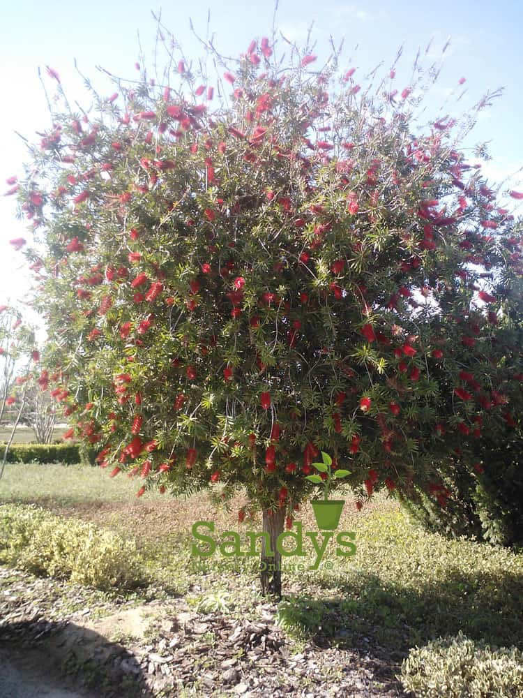 Bottlebrush Red Cluster callistemon Quart pot