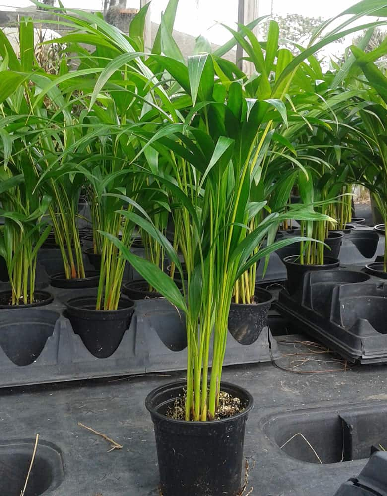Palm Areca Dypsis lutescens 4 inch pot