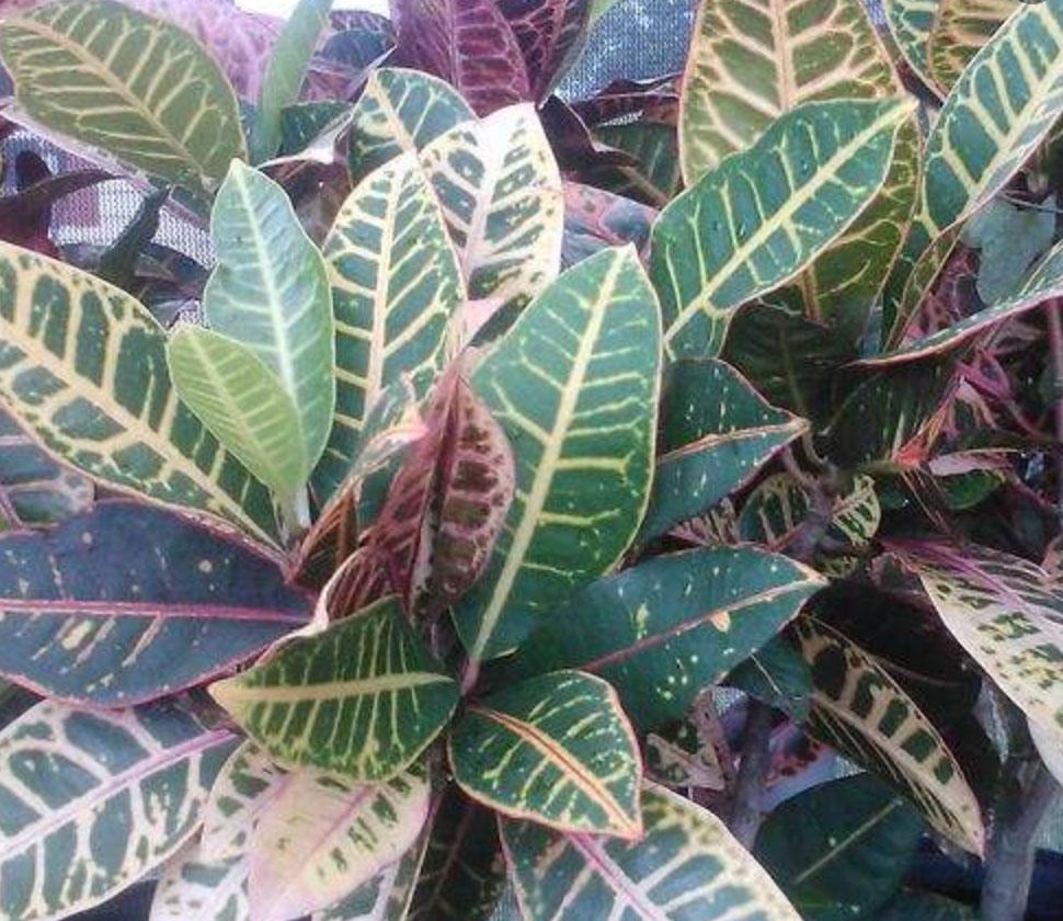 Croton Petra Autumn Gallon pot