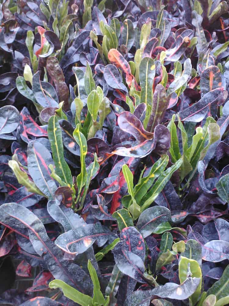 Croton Mammey 4 inch pot