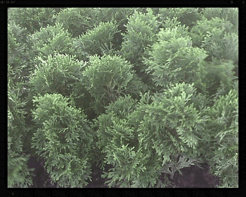 Thuja Emerald Green occidentalis Arborvitae ~Lot of 30~ 4 inch pot