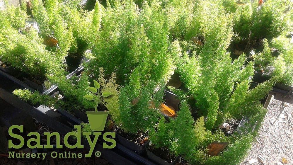 Fern Foxtail Asparagus Meyeri 4 inch pot