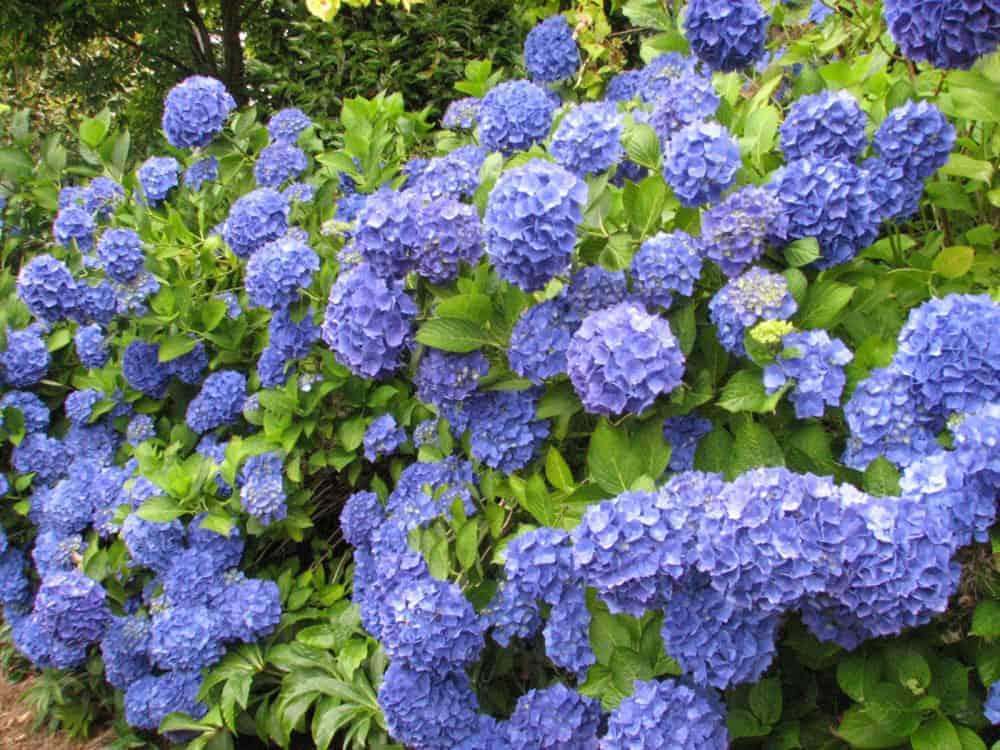 Hydrangea Nikko Blue 3 inch pot