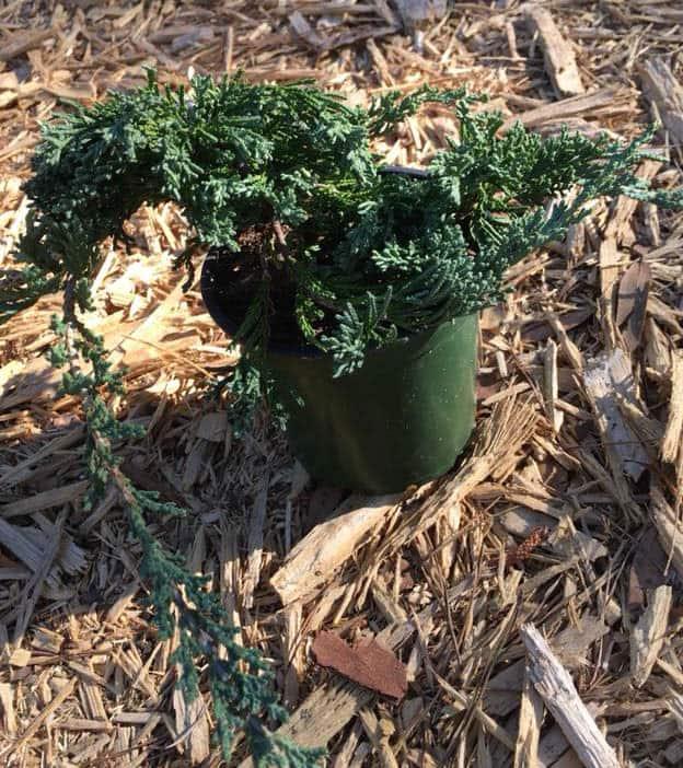 Juniper Blue Rug Wilton ~Lot of 30~ 4 inch pots