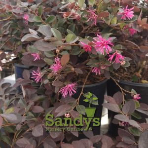 Loropetalum Plum Delight ~Lot of 6~ Gallon pots