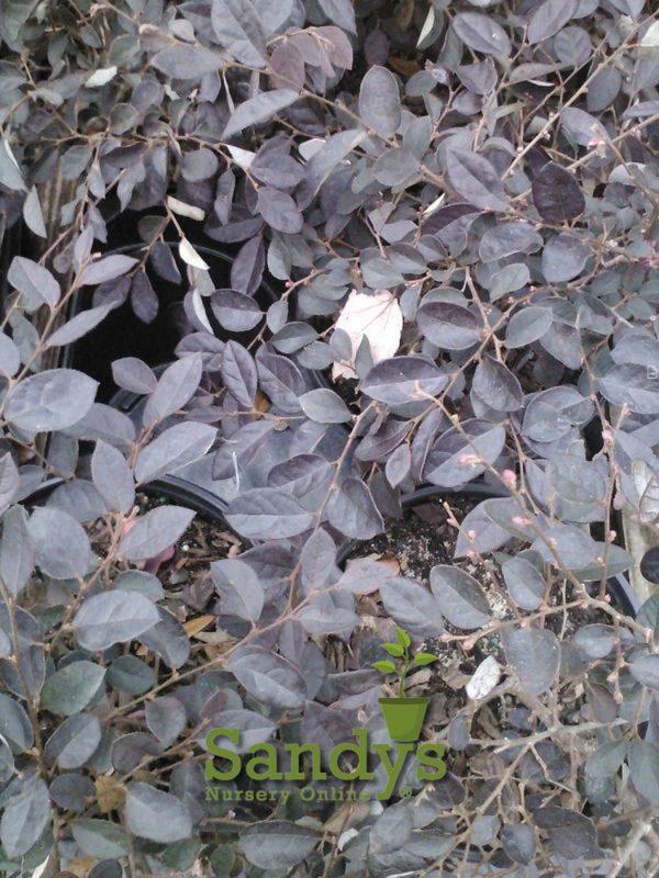 Loropetalum Plum Delight Gallon pot