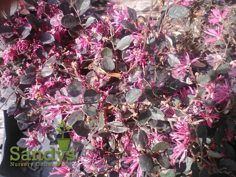 Loropetalum Daruma Compact Ruby ~Lot of 6~ Gallon pots