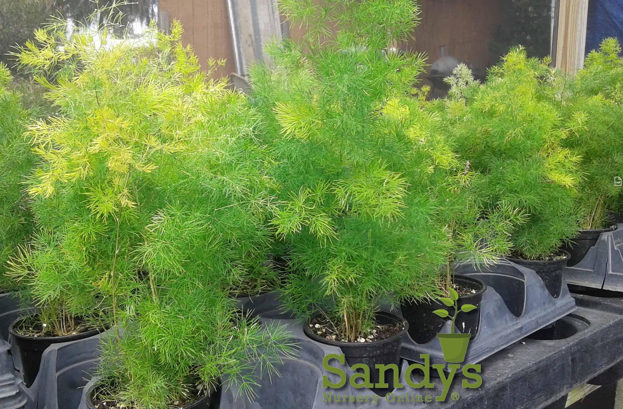 Fern Asparagus Myriocladus Ming Fern 4 inch pot