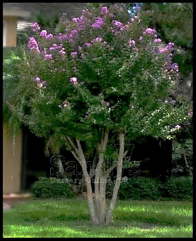 Crape Myrtle Muskogee Tree Lavender flower 4 inch pot