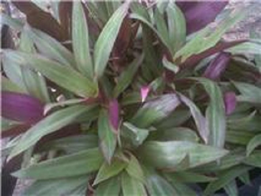 Oyster Plant Moses In The Boat 3 inch pot