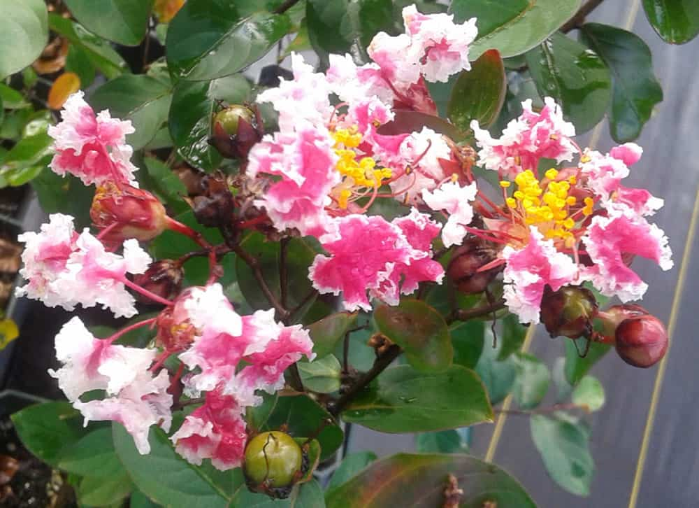 Crape Myrtle Peppermint Pink and White Blooms Starter Plant