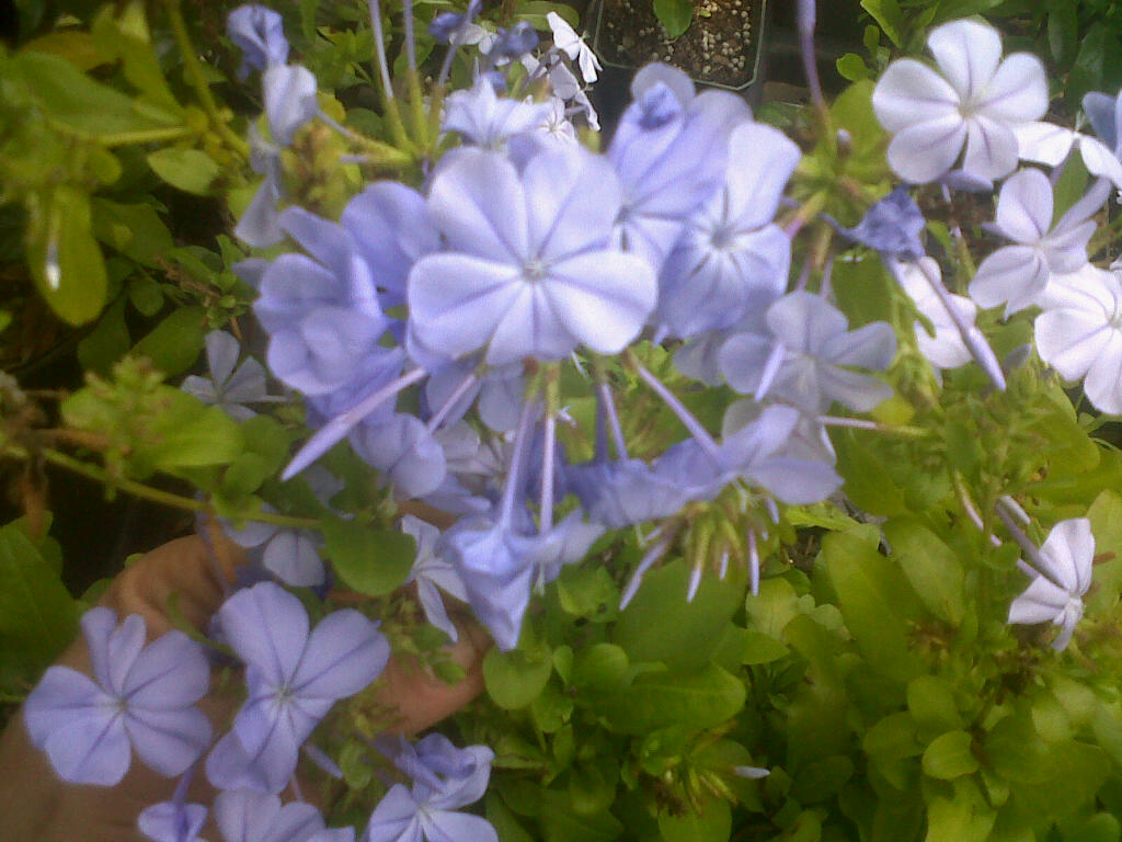 Plumbago auriculata Imperial Blue ~Lot of 2~ Starter Plants