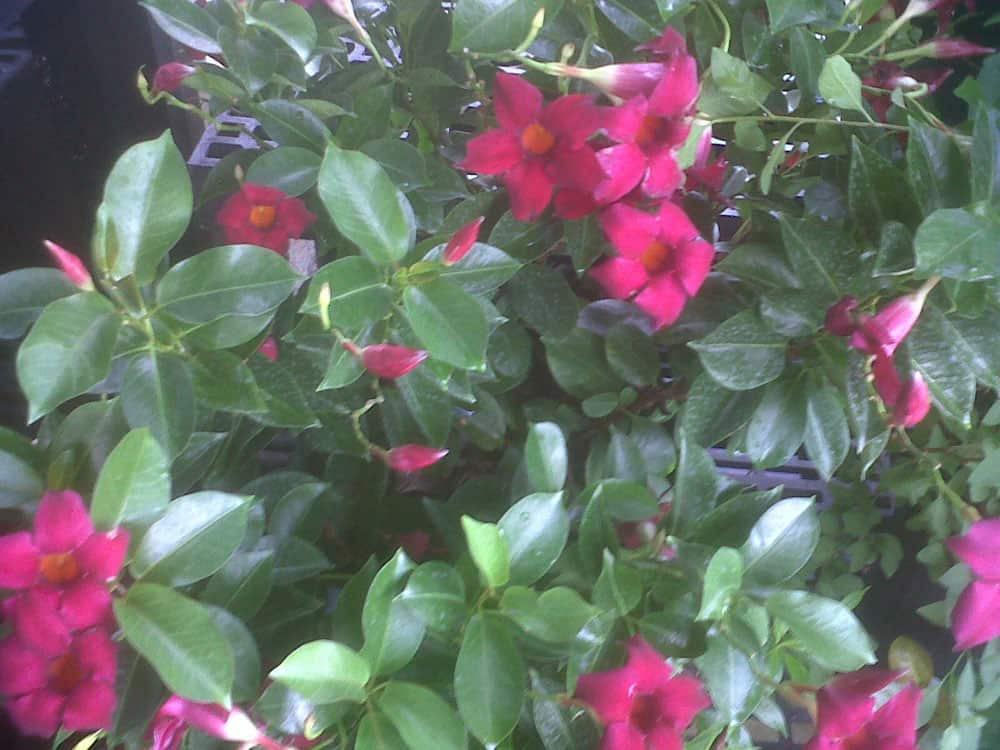 Mandevilla Bright Red Flowers 4 inch pot