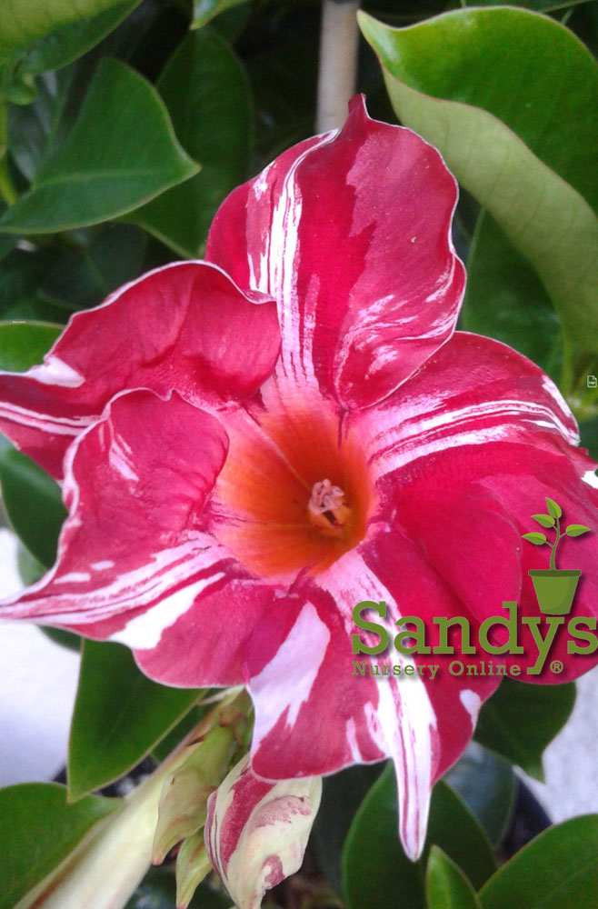 Mandevilla Stars & Stripes ~Lot of 2~ Starter Plants