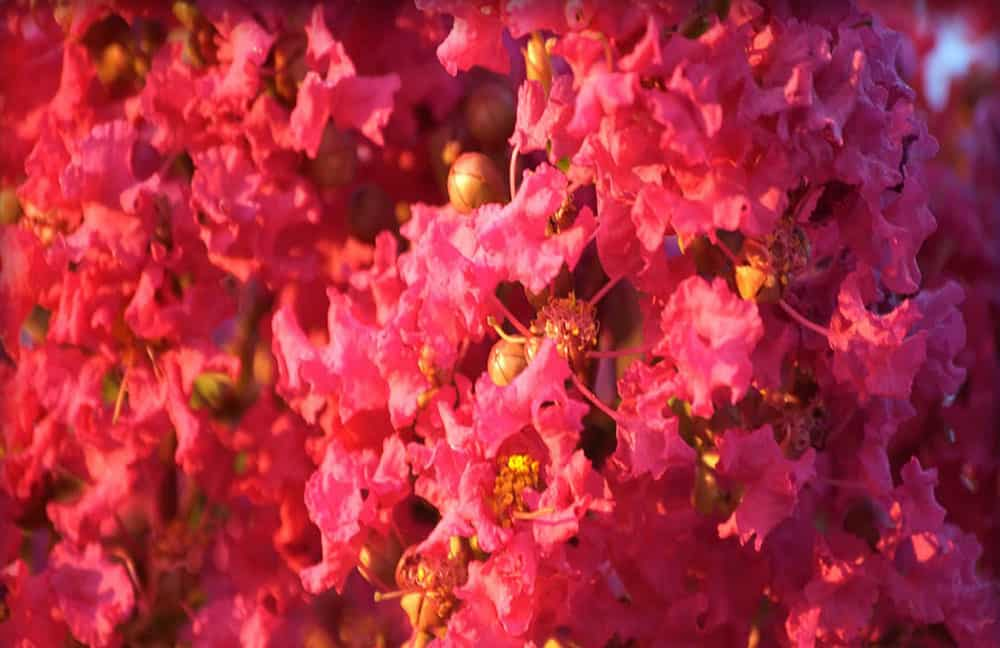 Crape Myrtle Lagerstroemia indica Tightwad Red Dwarf 4 inch pot